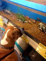 Chieftan/George enjoyed watching the fish