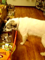 Miss Bianca shopping at Heart Pet today!